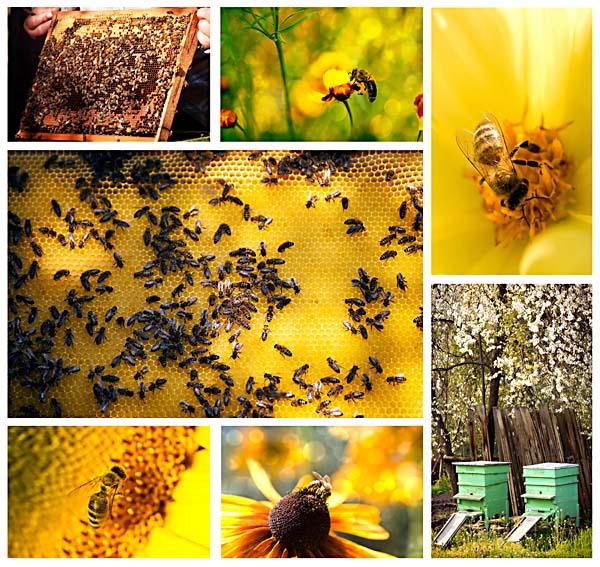 méhpempő gyűjtése